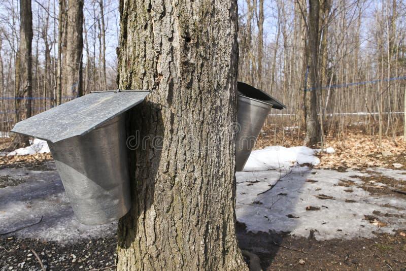 槭树树汁时段 免版税库存照片