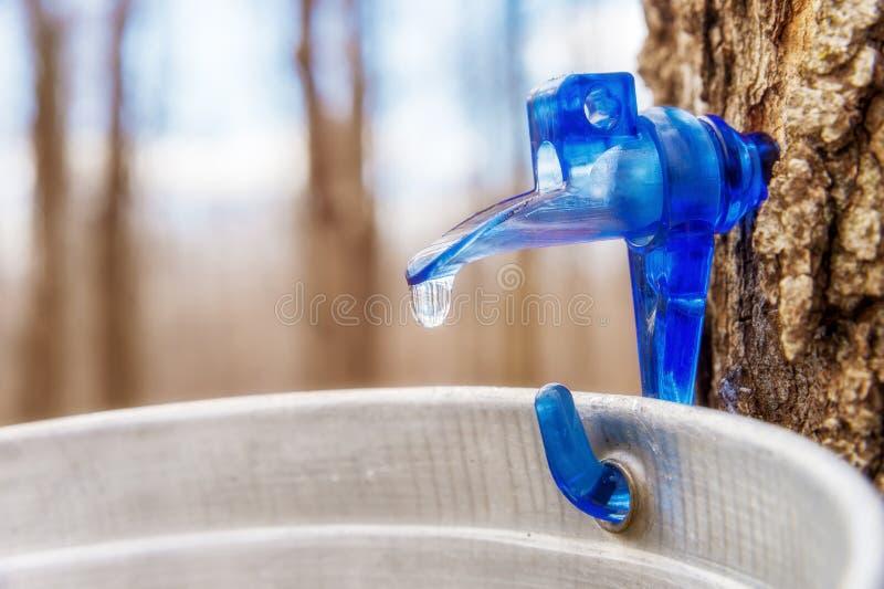 槭树树汁水滴到桶里 免版税库存图片