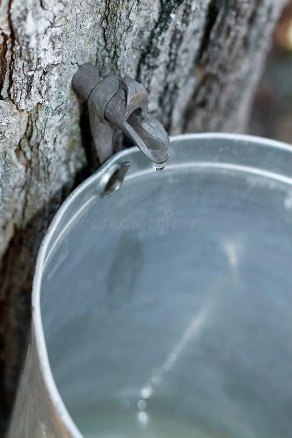 槭树树汁 图库摄影