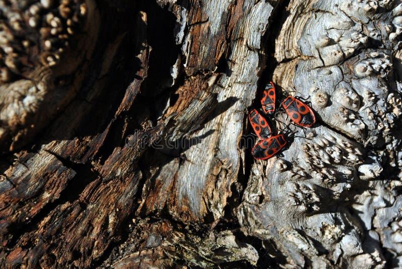 槭树根奇怪的纹理关闭与显示族聚行为的红色纵火犯Pyrrhocoris apterus小组 免版税库存照片