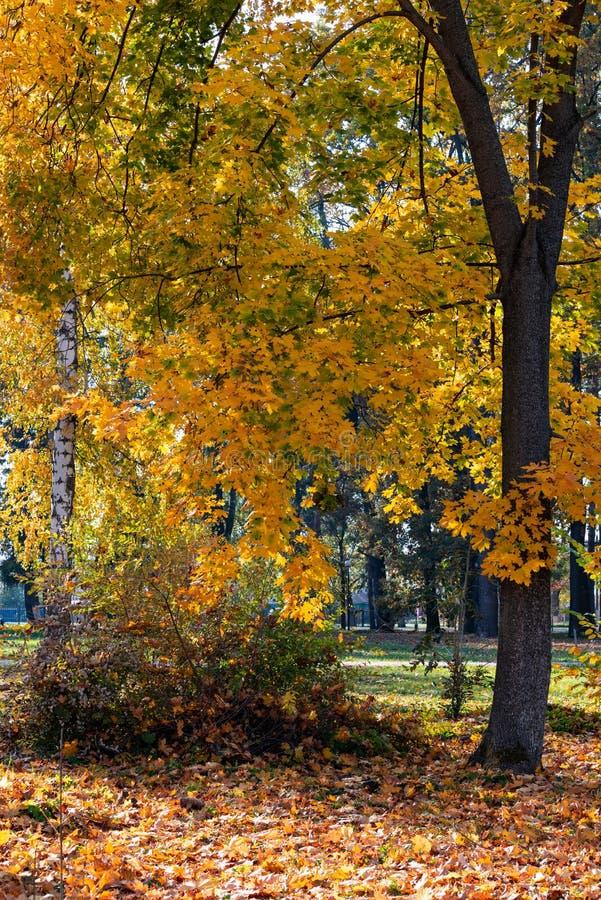 槭树流洒它的叶子,形成一张金黄地毯在树下 免版税库存图片