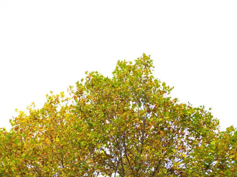 槭树的上面在棕色叶子冬天季节的,隔绝在白色背景 免版税库存图片