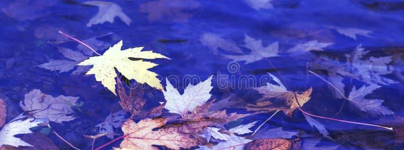 槭树的五颜六色的生锈的叶子 在的秋季叶子 免版税图库摄影