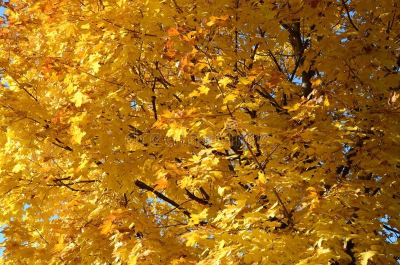 槭树的黄色叶子抽象背景  免版税库存照片
