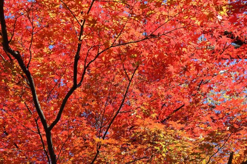 槭树离开秋天 图库摄影