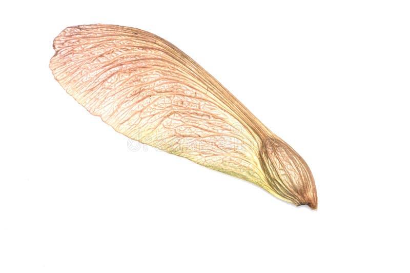 槭树种子结构树