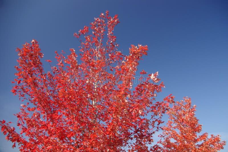 槭树红色结构树 免版税库存照片