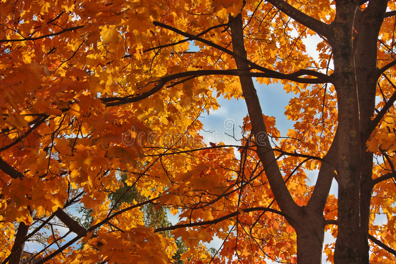 槭树红色 库存图片