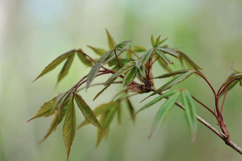 槭树绿色新鲜的新出生的叶子  库存照片