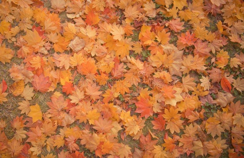 槭树背景秋天季节在福岛,日本 库存照片