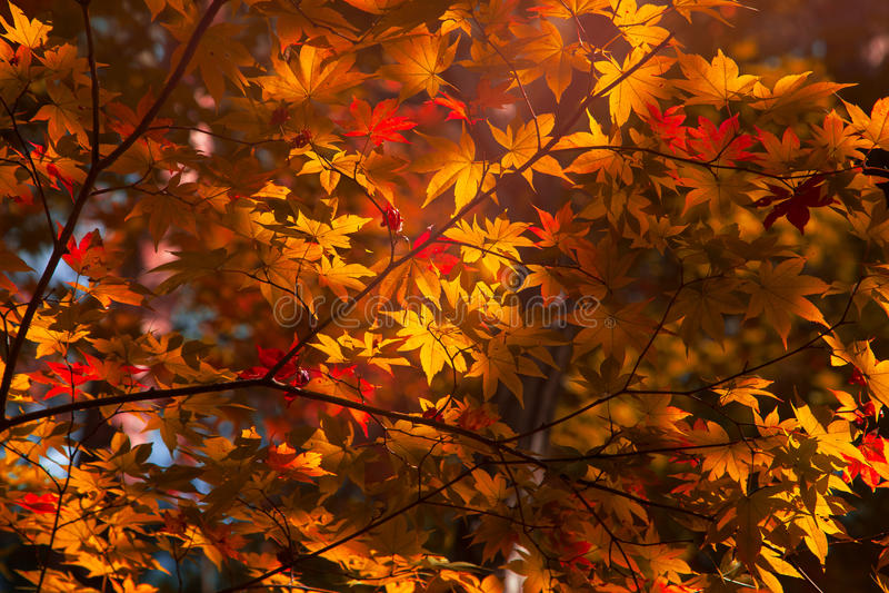 槭树背景秋天季节 免版税库存照片