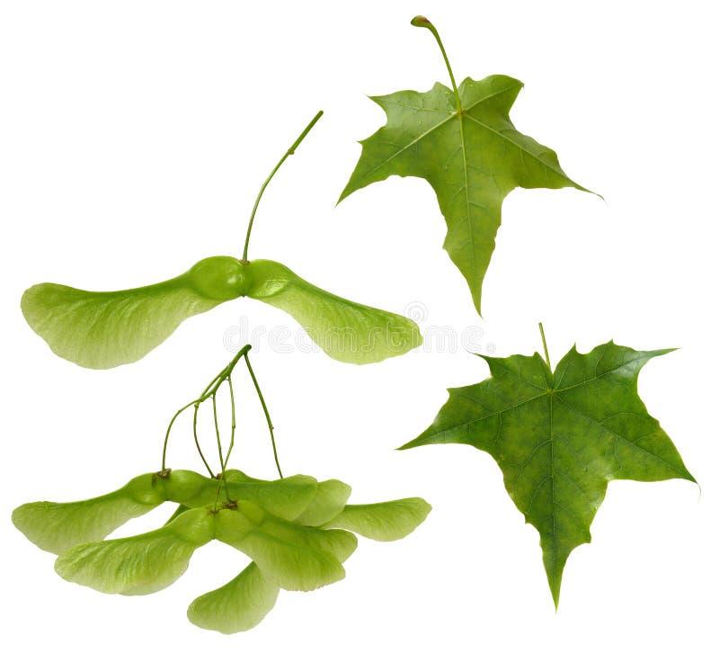 槭树集 库存图片