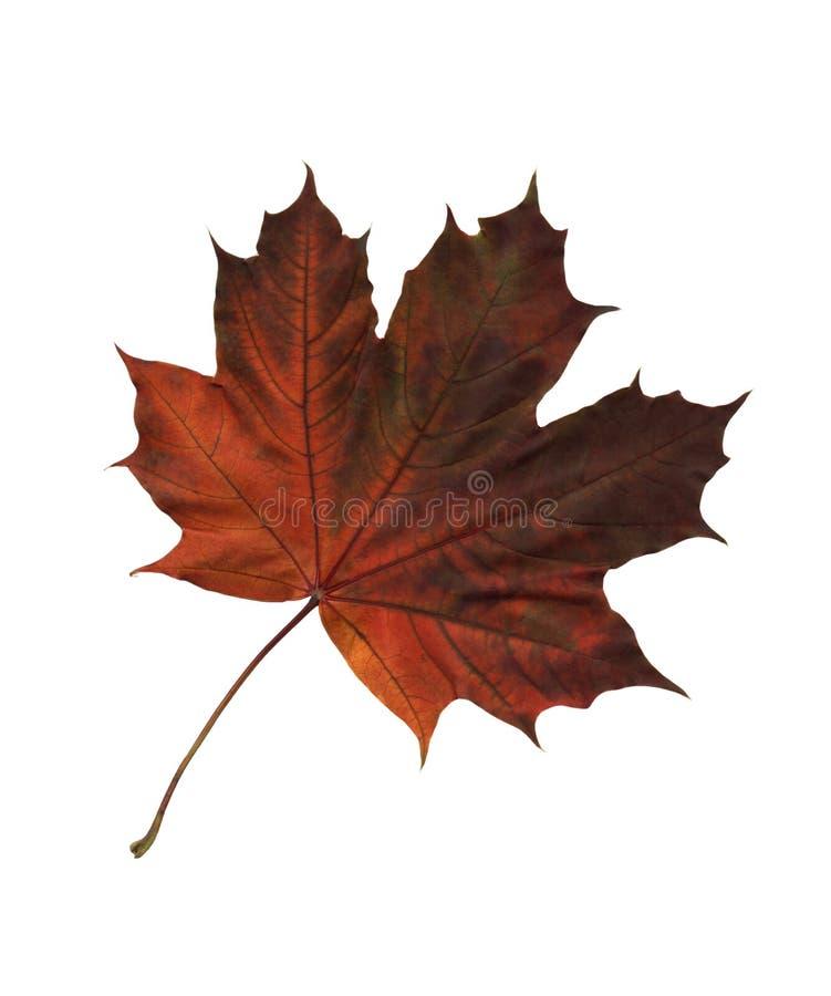槭树页 库存图片