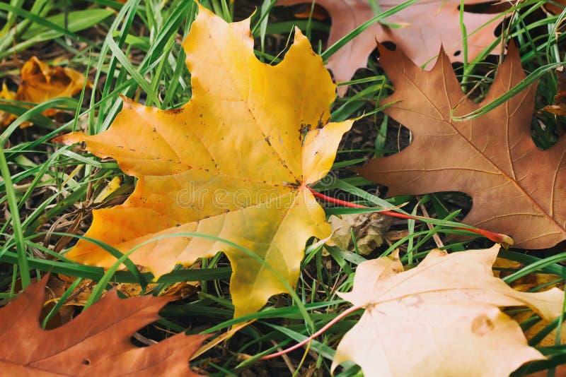 槭树,在绿草,秋天的橡木首先下落的五颜六色的秋叶特写镜头来了 库存照片