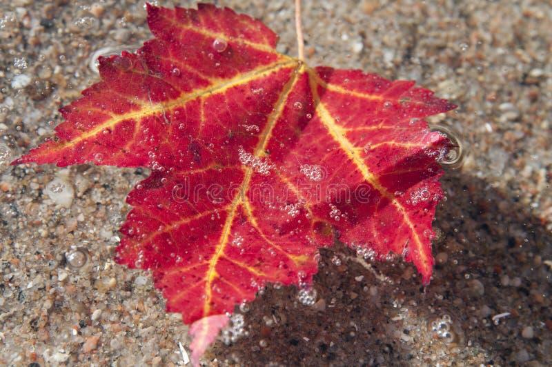 槭树Acer 免版税库存照片