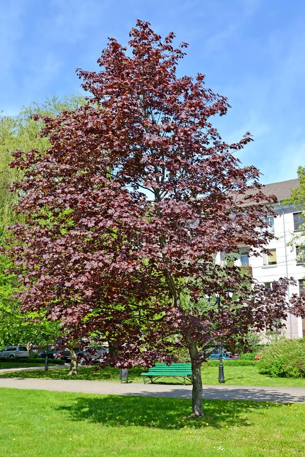 槭树purpurno有叶的Acer pseudoplatanus L 在城市广场 库存照片