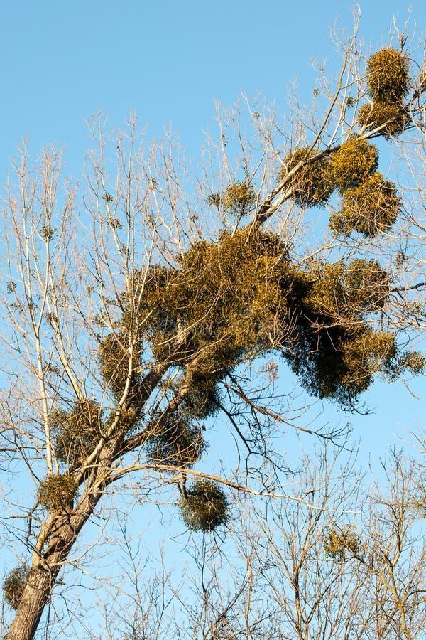 槲寄生在白扬树的槲寄生虫册页在秋天 图库摄影