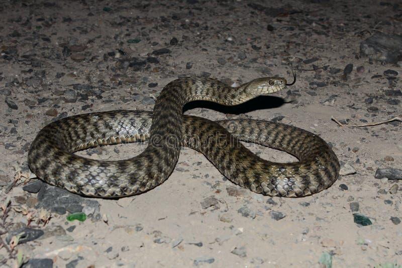 模子蛇(Natrix tassellata) 图库摄影