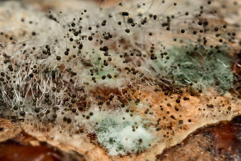 模子黑霉具匍匐茎的宏指令 库存图片