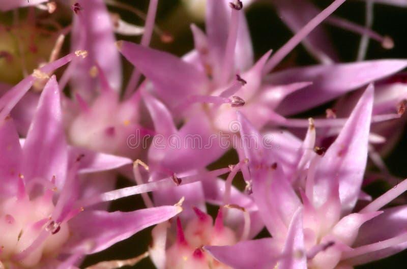 模式瓣粉红色 免版税库存照片