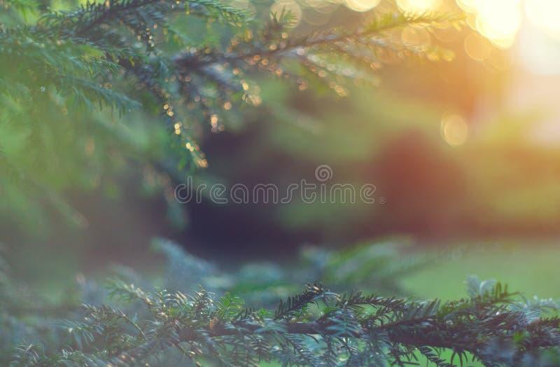 模糊的花园背景 夏园云杉的生长 云杉在户外,针叶松紧身,大自然 免版税库存照片