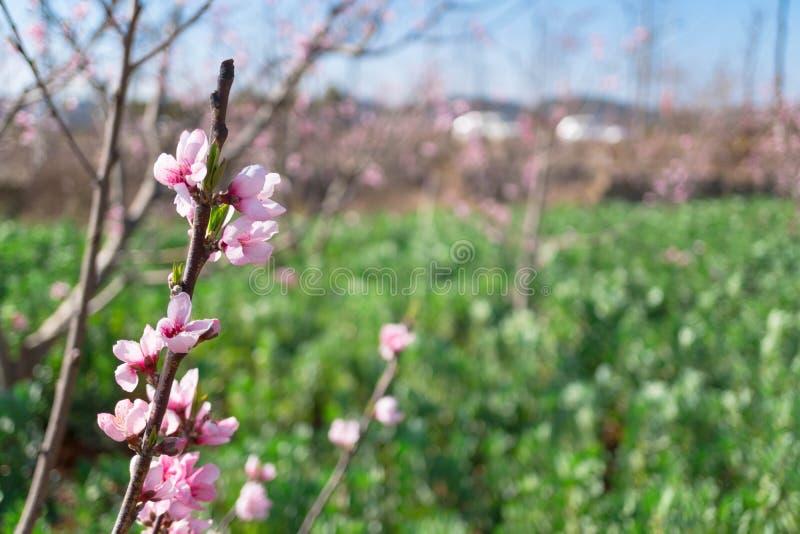 模糊背景的粉红桃花 免版税图库摄影