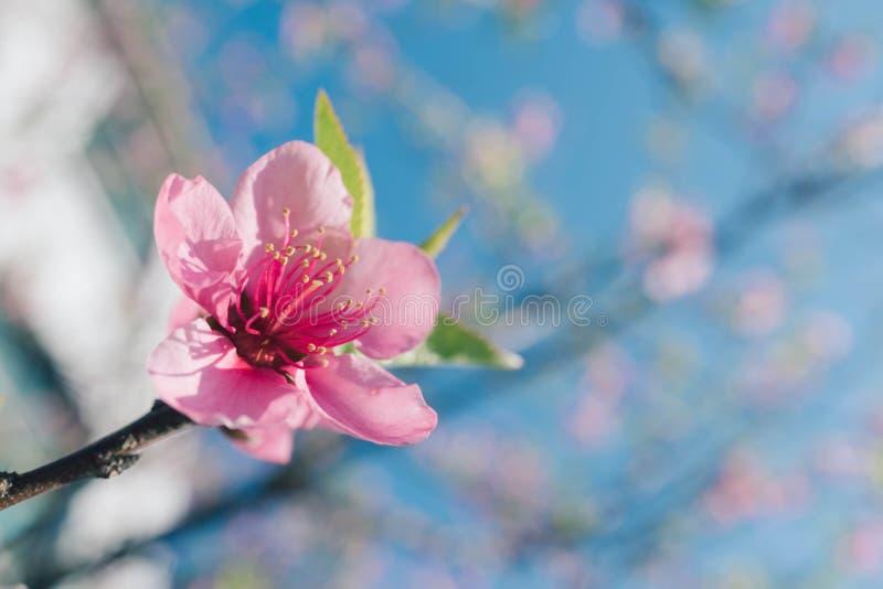 模糊背景的粉红桃花 库存照片