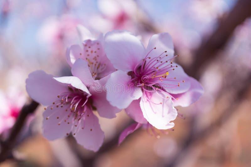 模糊背景的粉红桃花 免版税库存图片