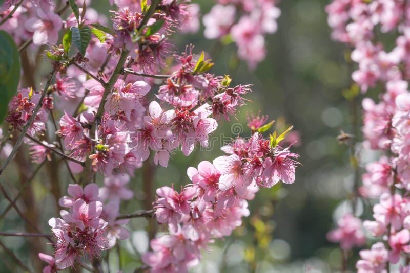 模糊背景的粉红樱花 库存图片