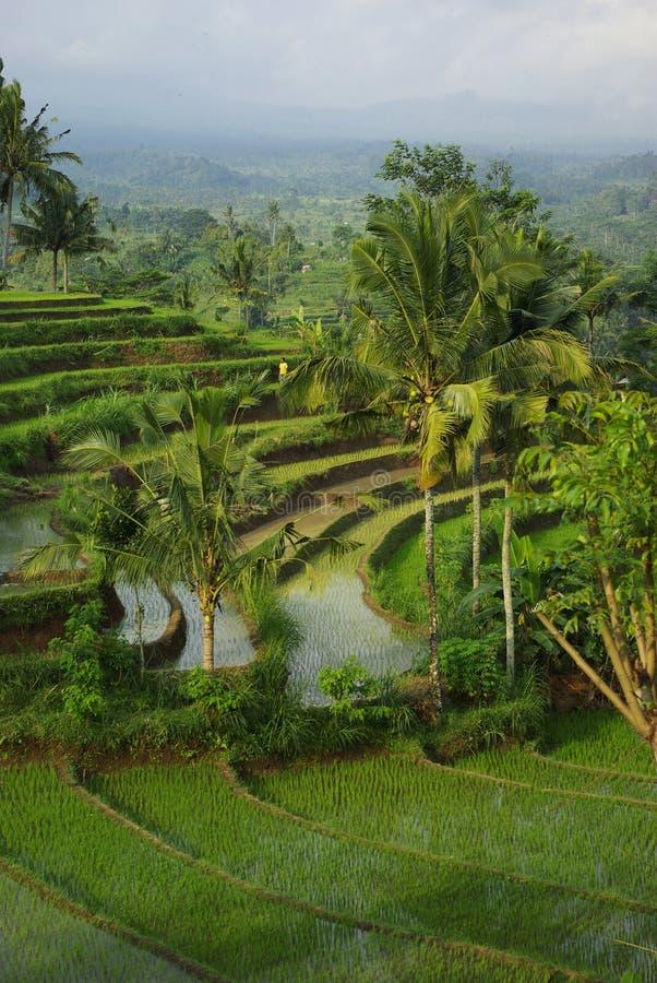 横向ricefields浇灌了年轻人 免版税库存照片