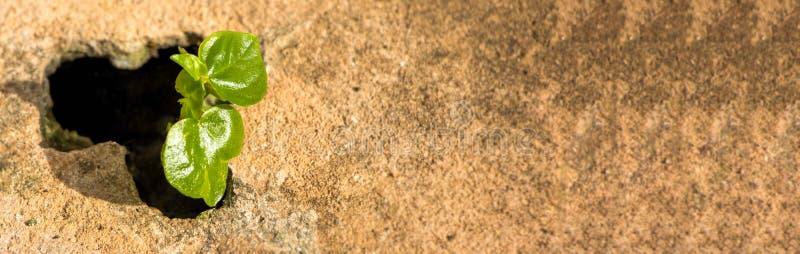 横幅大小,幼木从与发光的早晨阳光的破裂的水泥地板,全球性变暖的概念增长 图库摄影