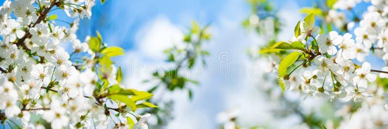 横幅3:1 樱花全开全景 自然背景 软焦点 库存照片