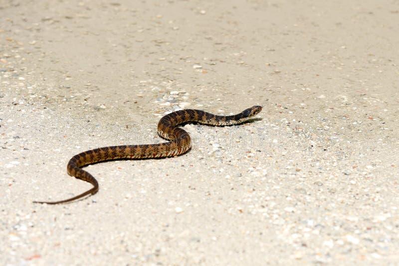 横渡一条含沙道路的宽广被结合的水蛇 图库摄影