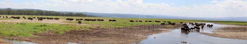 横渡河n马塞人玛拉的斑马和角马 库存照片