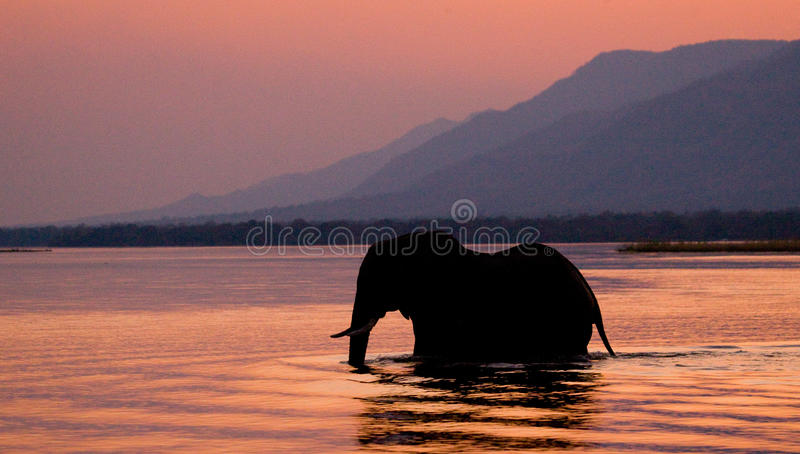 横渡赞比西河的大象在桃红色的日落 赞比亚 免版税库存图片