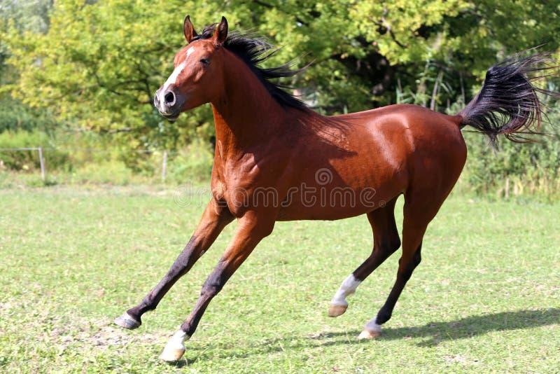 横跨夏天草甸的阿拉伯公马奔跑疾驰 库存照片