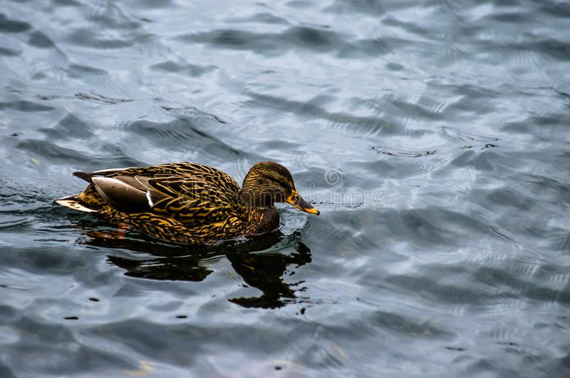 横跨池塘的女性野鸭鸭子游泳 免版税图库摄影