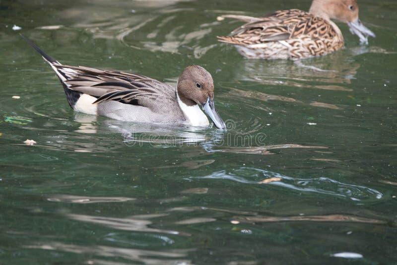 横跨池塘的男性圈状的小野鸭鸭子游泳 库存图片