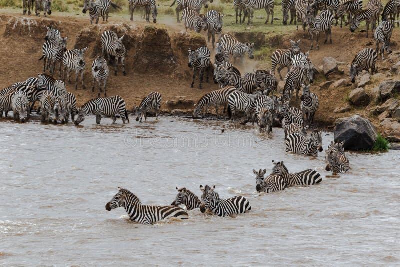 横跨河的斑马游泳 肯尼亚mara马塞语 免版税库存照片