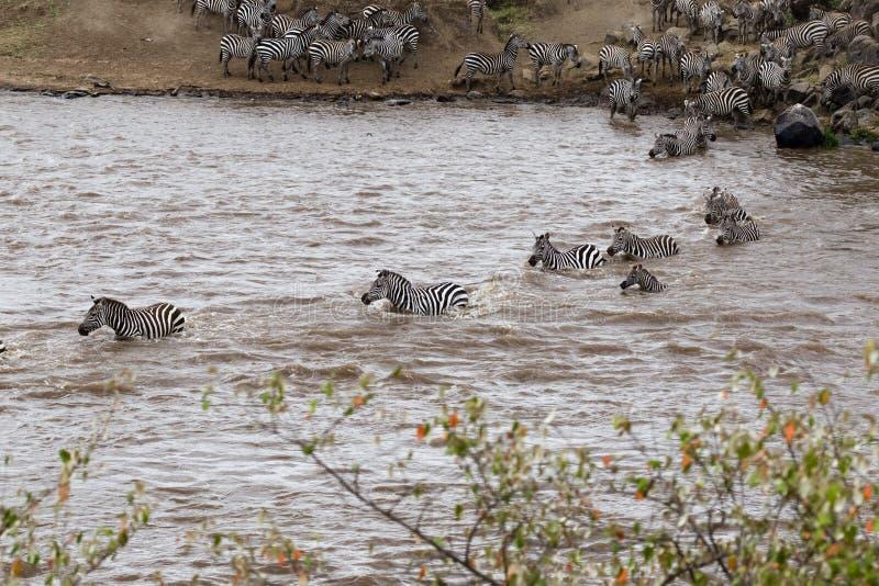 横跨玛拉河的斑马游泳 肯尼亚mara马塞语 免版税库存照片