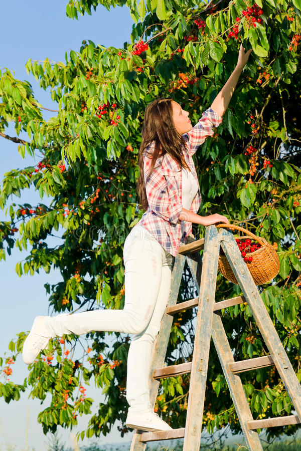 樱桃上升收获梯子夏天结构树妇女 免版税库存照片