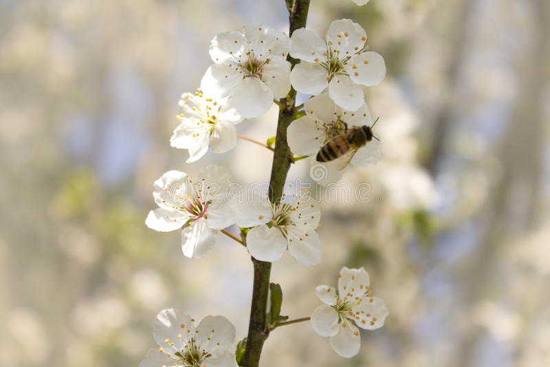 樱桃分支开花在春天 免版税库存照片