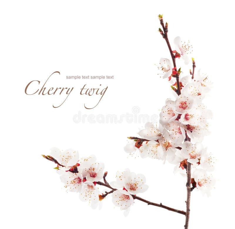樱桃分行在绽放的 免版税库存图片