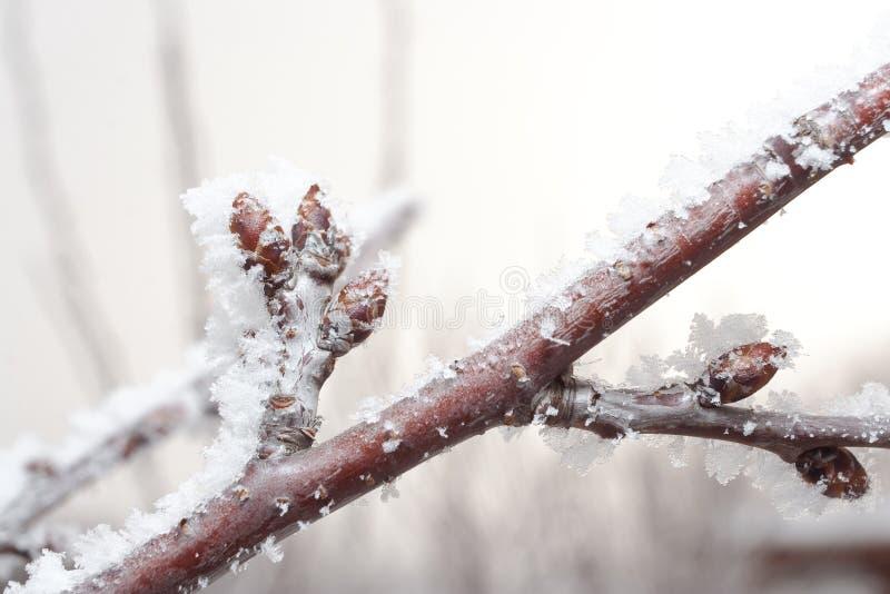 樱桃分行用在冰包括的新芽 免版税库存照片