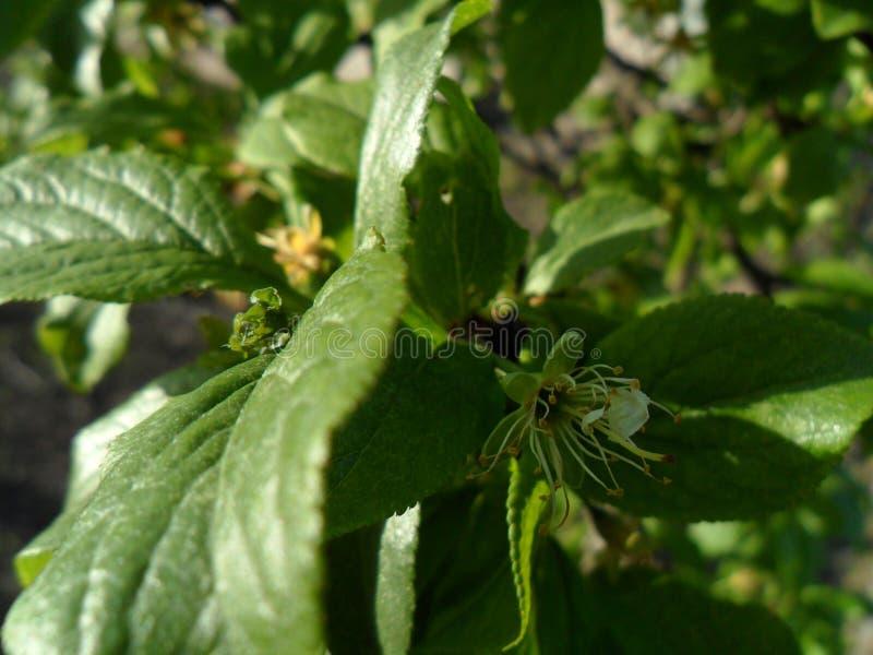 樱桃叶子,早期的春天 库存照片
