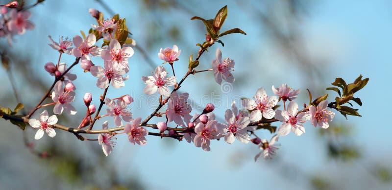 樱桃在开花的李子分支 免版税库存照片
