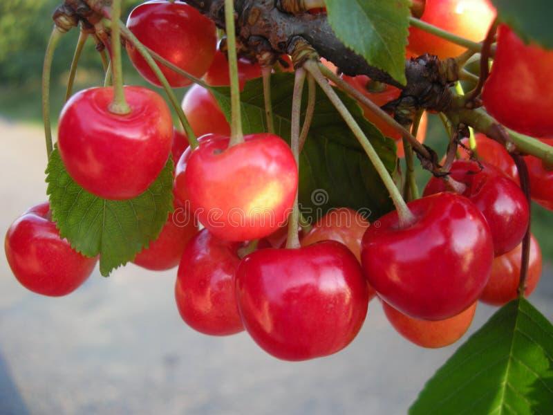 樱桃在树的果子细节在6月 库存图片