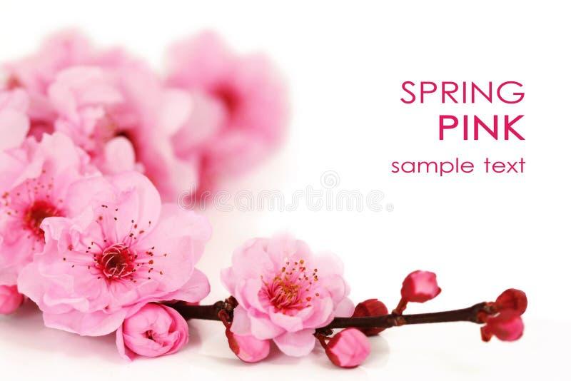 樱桃开花弹簧 库存照片