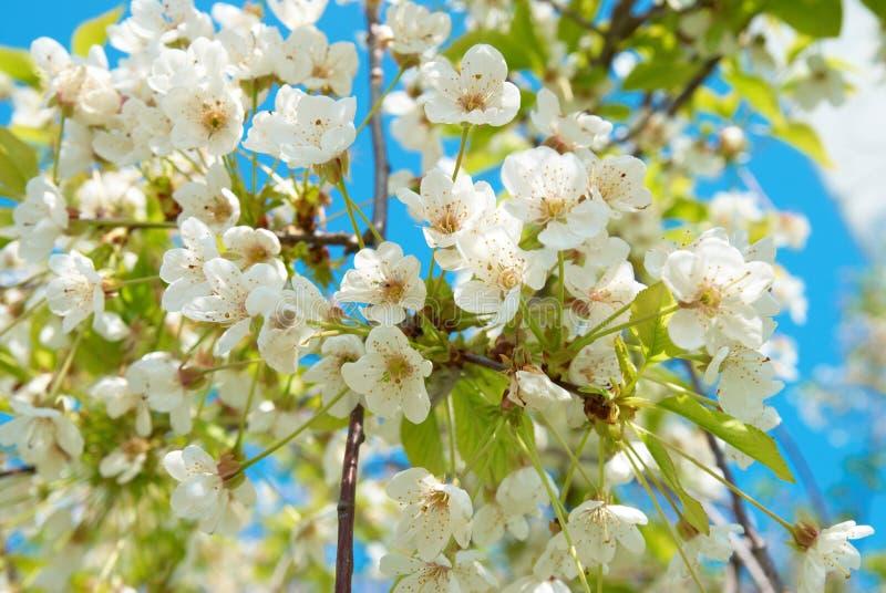 樱桃开花白色 库存照片