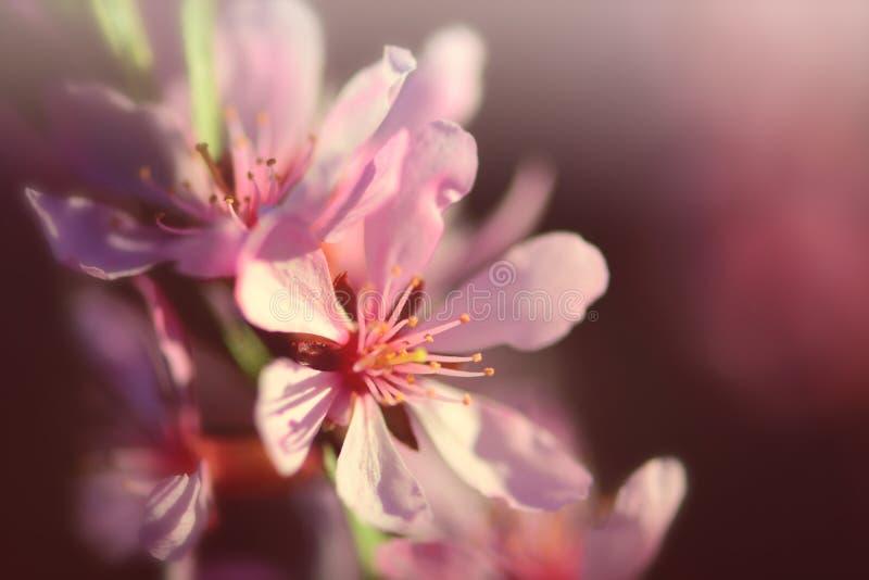 樱桃开花粉红色 免版税库存图片